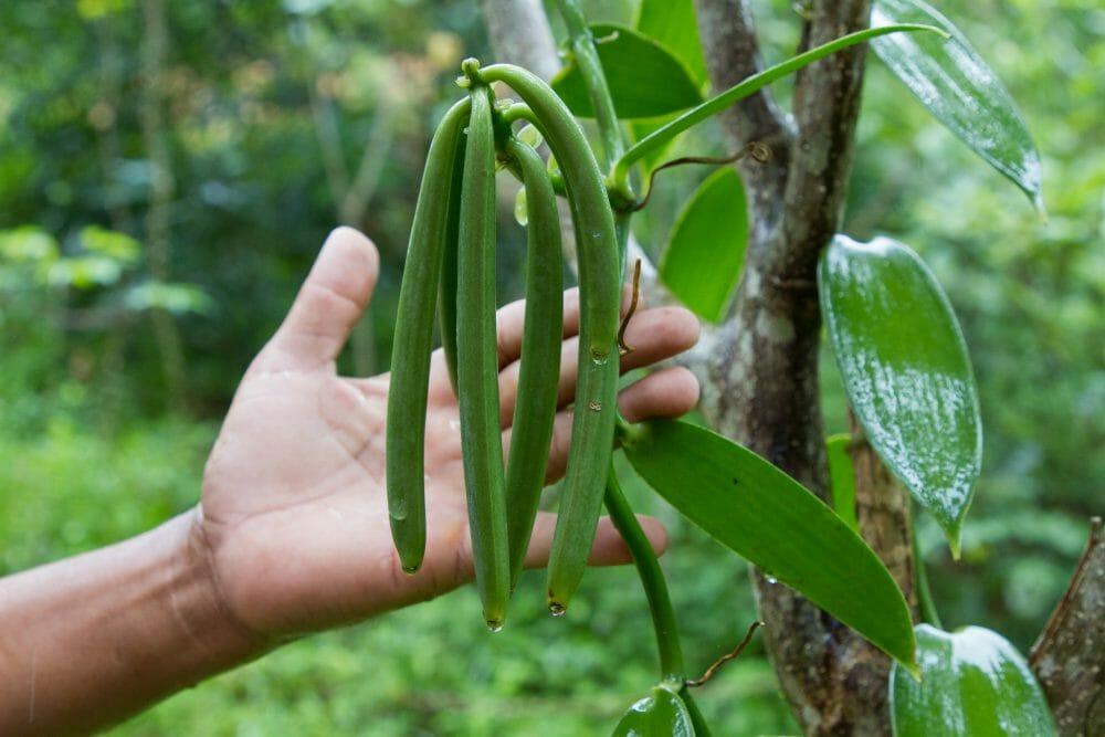 Green vanilla pods hang from a tree.