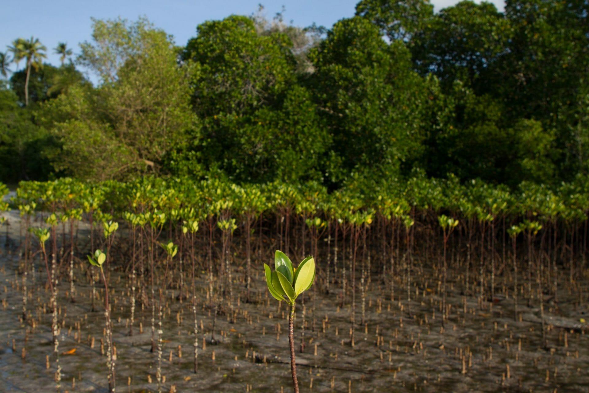 A mangrove seedling up close.