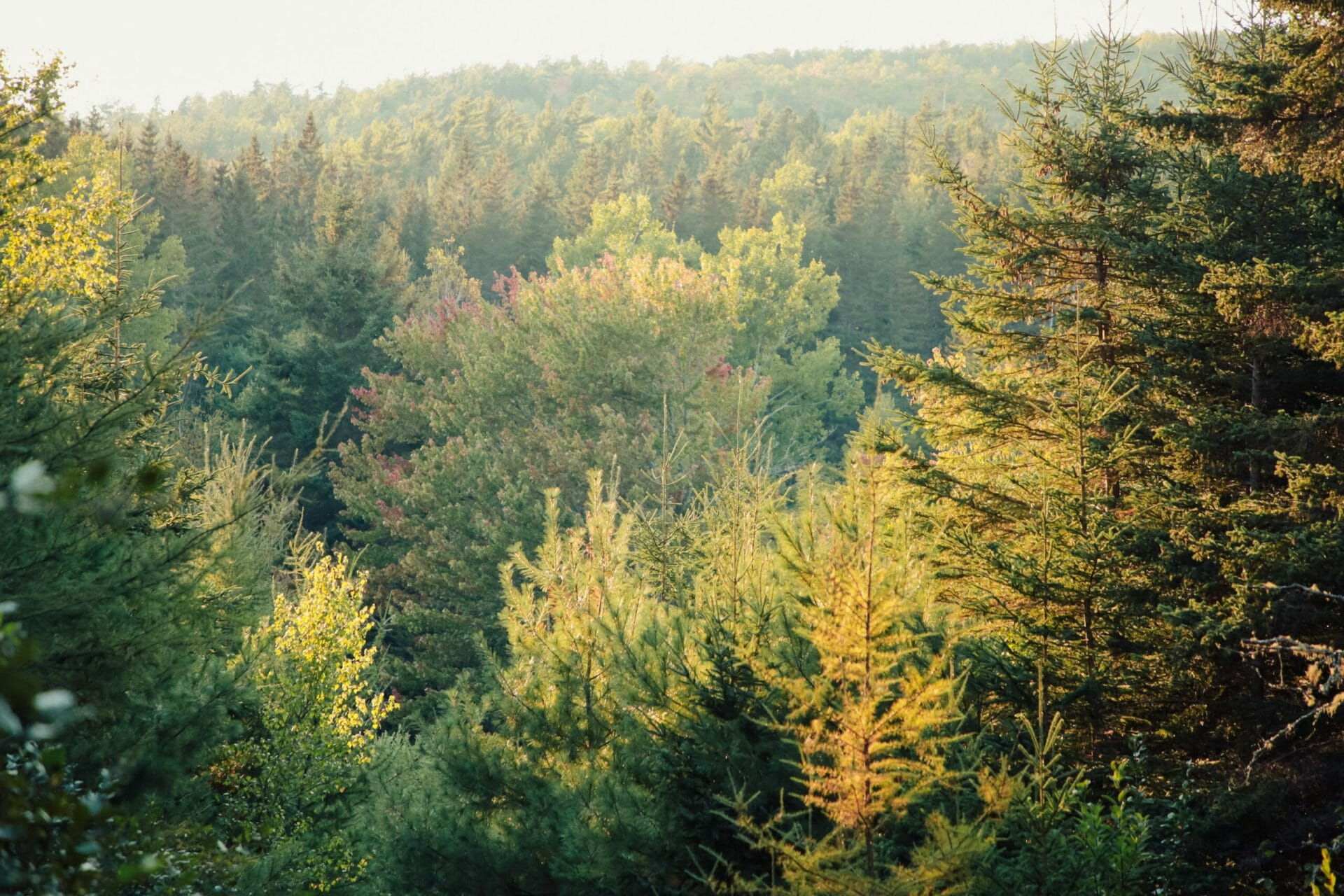 Evergreen trees in various colours of green, yellow, and orange