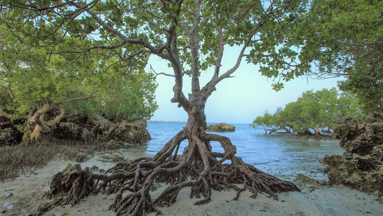 Mangrove Tree on the coast