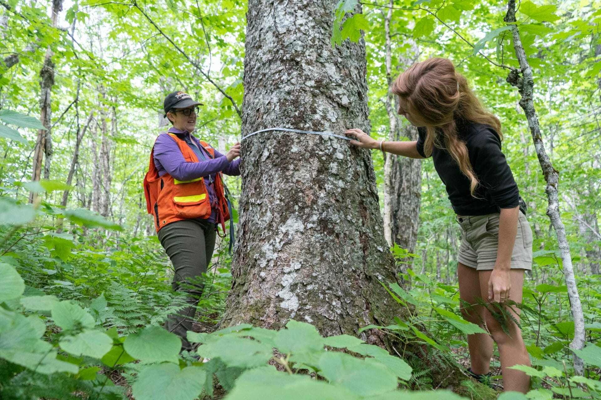 Two women measuring the width of a large tree trunk.