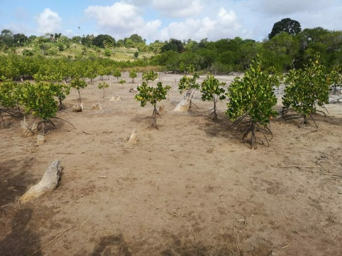 Restored mangroves near Milamba Village, Mozambique.